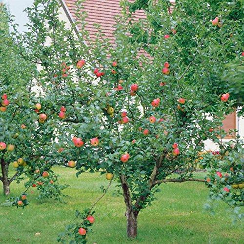 Apfel Goldparmäne, Busch, 1 Pflanze