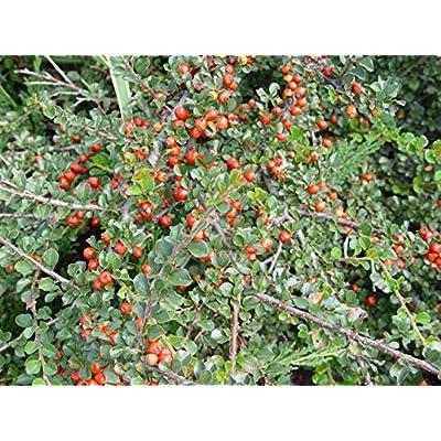 Cotoneaster apiculatus (Cranberry Cotoneaster) Shrub, #2 - Size Container: Garden & Outdoor