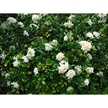 Murraya paniculata - ORANGE JASMINE -EXTREMELY FRAGRANT FLOWERS - Seeds!