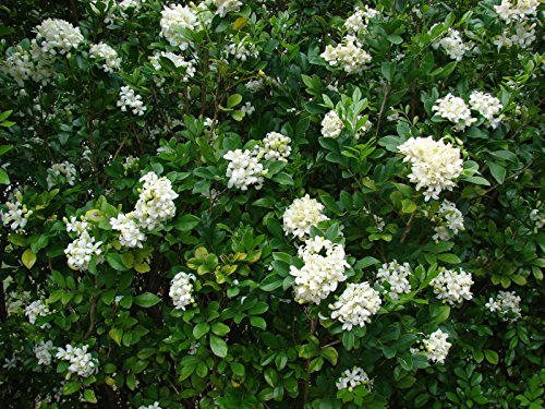 Murraya paniculata - ORANGE JASMINE -EXTREMELY FRAGRANT FLOWERS - Seeds! (Jasmine Orange Plant)