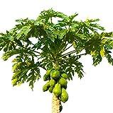 PAPAYA LIVE FRUIT TREE - Dwarf 'T. R. Hovey'TR Hovey Papaya Live Plant Carica