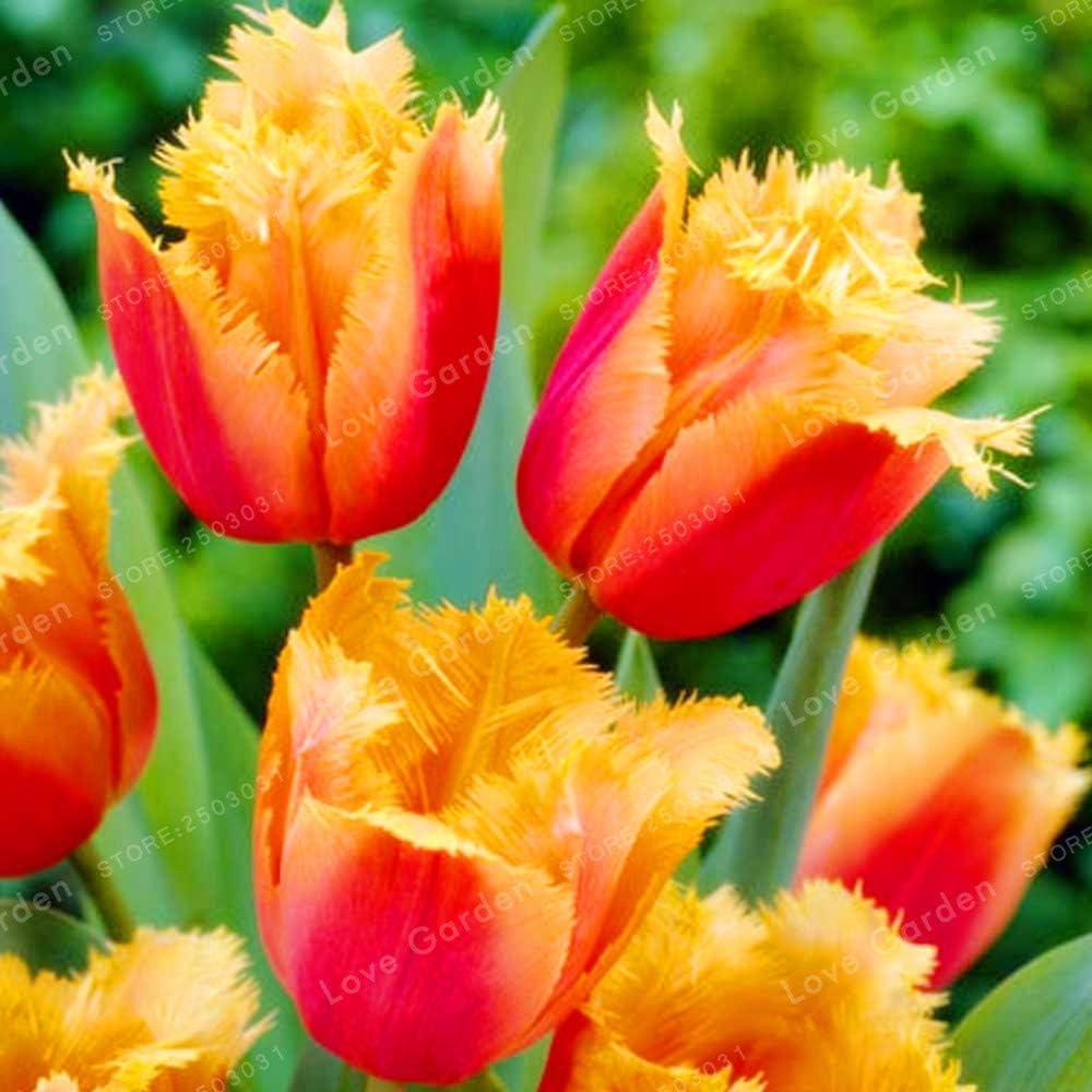 Pinkdose 2 bulbos Verdaderos bulbos de tulip/án tulip/án Bons/ái planta de flor de tulipanes para plantas de jard/ín bulbos de flores simboliza el amor: multicolor flor de tulip/án