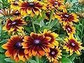 300+ Gloriosa Daisy Rudbeckia Hirta Flower Seeds, Black-Eyed Susan, Biennial, Beautiful! From USA