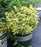 Euonymus Fortunei Emerald N Gold Two Gallon Plant