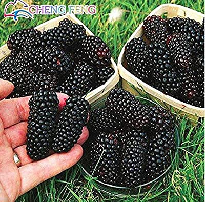 Mr.seeds-100pcs Nutritious Jumbo Thornless Blackberry Seeds Juicy Sweet Healthy Delicious ,nutritious Fruit strawberry Diy Home Garden