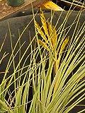 LARGE CARDINAL AIR PLANT TILLANDSIA FASCICULATA FLORIDA NATIVE Plant
