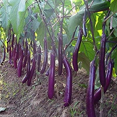 Eggplant, Organic, Purple Long Eggplant, Italian Heirloom~ 300 Vegetable Seeds !