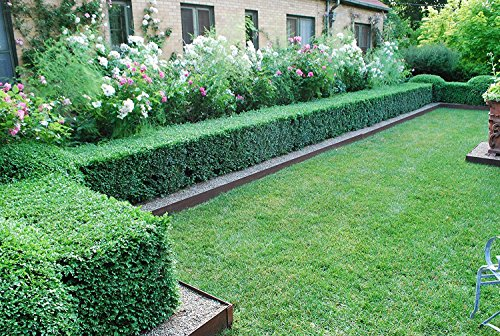 Japanese Boxwood Qty 15 Live Plants Buxus Fast Growing Cold Hardy Evergreen Shrub by Florida Foliage (Image #2)