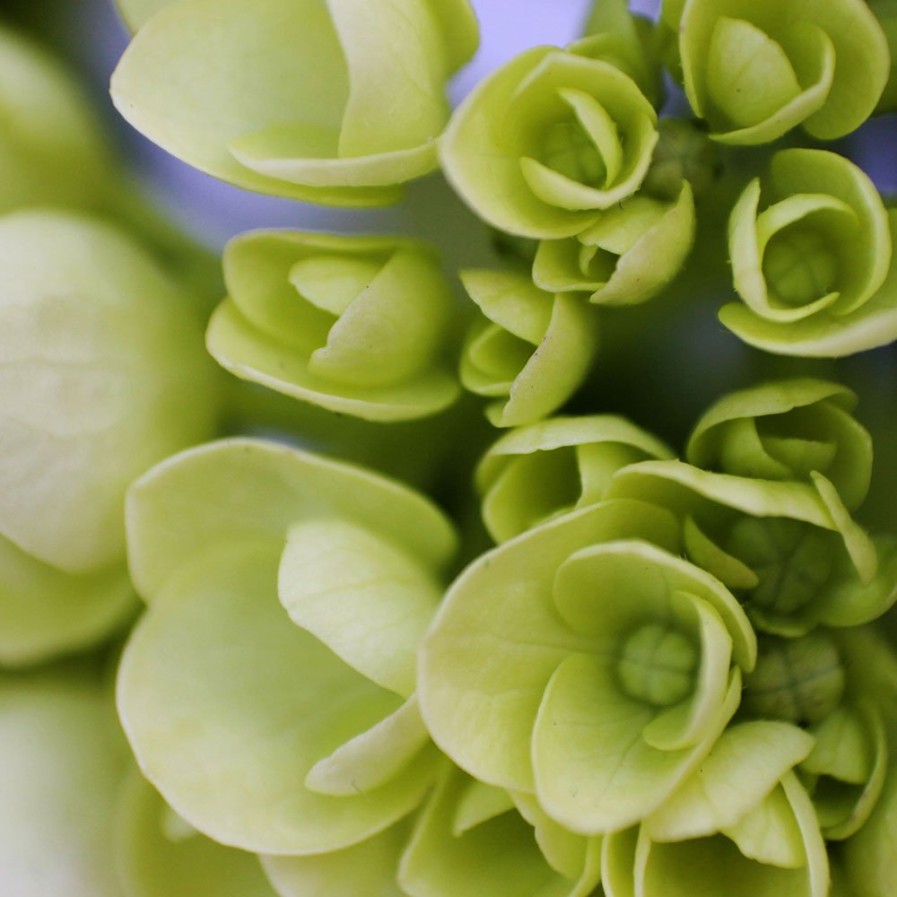 GlobalRose 10 Fresh Cut Green Mini Hydrangeas - Fresh Flowers For Weddings or Anniversary. by GlobalRose (Image #4)