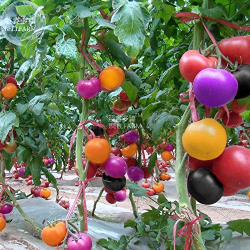 (2018 Hot Sale Davitu Rainbow Tomato Seeds, 100 Seeds, Professional Pack, Hybrid Yellow Purple Black Pink red Giant Vegetables E4486U)