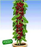 BALDUR-Garten Säulen-Kirschen 'Stella', 1 Pflanze, Prunus avium Säulenobst Kirschbaum
