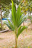 Coconut Tree (Green) Hawaiian, Live Palm, Dwarf Malayan,48'' (Excludes:CA)