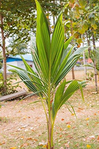 "Coconut Tree (Green) Hawaiian, Live Palm, Dwarf Malayan,48"" (Excludes:CA)"
