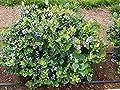 Top Hat Dwarf Blueberry ( Vaccinium ) - Live Plant - Starter Plug (LG)