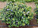 Top Hat Dwarf Blueberry Bush - Live Plant - Trade Gallon Pot