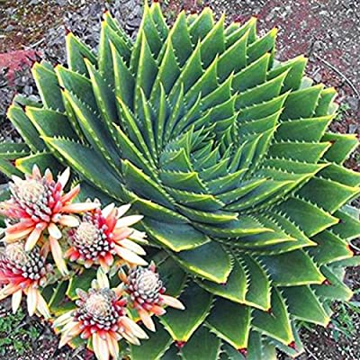 100pcs Mix Succulents seed, Aloe polyphylla rotation aloe vera queen seeds