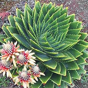 aloe polyphylla prezzo amazon
