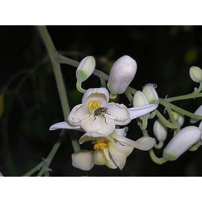 Moringa oleifera | Horseradish Ben Oil Benzoil Drumstick Tree | 10_Seeds : Garden & Outdoor