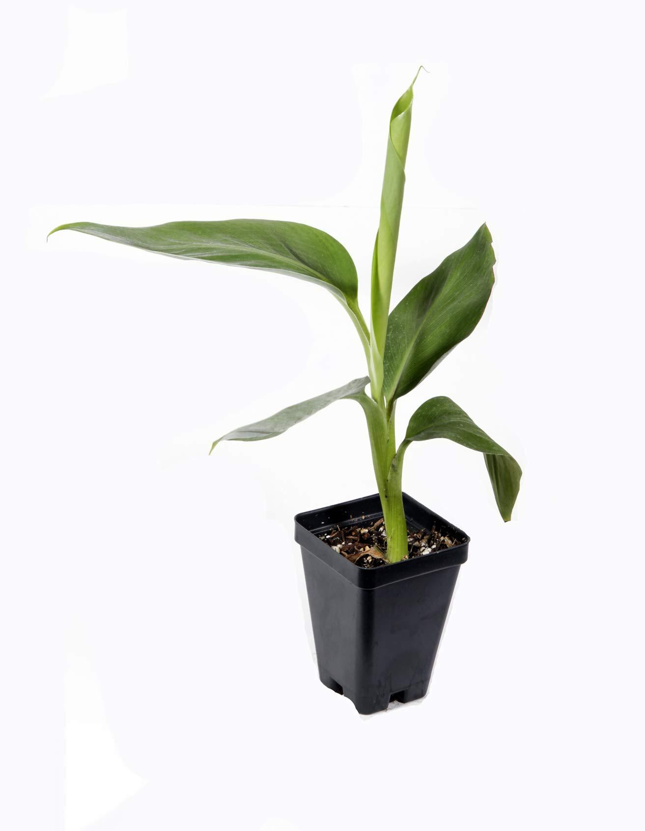 Manzano ''Apple'' Banana Plant ***Rare*** Live Manzano ''Apple'' Banana Tree by Natures Garden Nursery (Image #1)