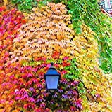 40 PCS Seeds Mix Colors Boston Ivy Creepers Green