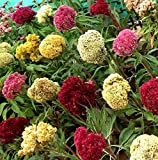 Giant Flowered CELOSIA Plumosa Cristata Argentea Cockscomb Mix 30 Seeds