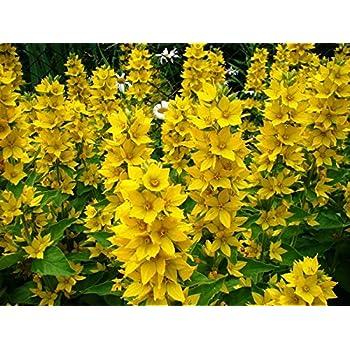 Amazon yellow loosestrife 50 seeds lysimachia perennial dotted loosestrife large yellow loosestrife spotted loosestrife seeds mightylinksfo