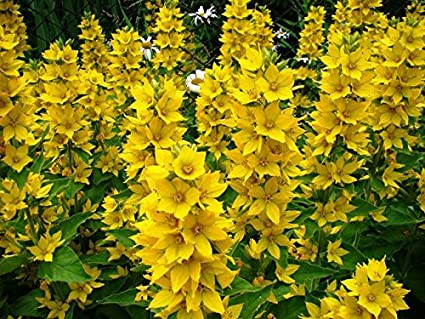 Amazon dotted loosestrife large yellow loosestrife spotted dotted loosestrife large yellow loosestrife spotted loosestrife seeds mightylinksfo