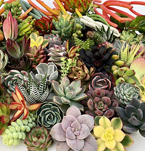 10 Assorted Live Succulent Cuttings, No 2 Succulents Alike, Great for Terrariums, Mini Gardens, and as Starter Plants by The Succulent Cult by The Succulent Cult (Image #5)