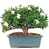 Brussel's Gardenia Bonsai - X Large - (Outdoor) - Not Sold in Arizona