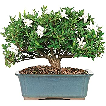 Brusselu0027s Gardenia Bonsai   X Large   (Outdoor)   Not Sold In Arizona