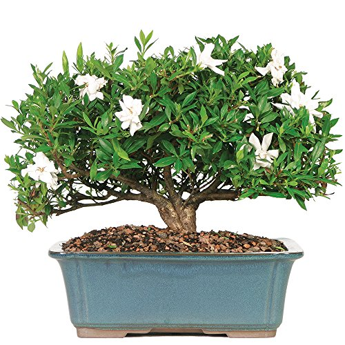 Brussel's Gardenia Bonsai - X Large - (Outdoor) - Not Sold in Arizona by Brussel's Bonsai