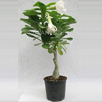 Plantsguru Adenium (Desert Rose) White Double Petal (grafted) Live Flower Plant with Pot Outdoor Flower Plants at amazon