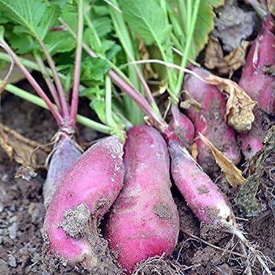 French Breakfast Radish Seeds - Heirloom Garden Seeds, Non-GMO - Vegetable Gardening and Micro Greens