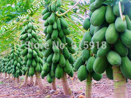 mini fruit potted bonsai 20 Papaya Tree Seeds,perfect fruit for your family,DIY home garden