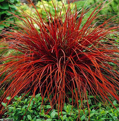 uncinia-rubra-firedance-10-seed-aka-new-zealand-red-hook-sedge-ornamental