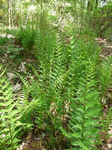 (25 Plants Classic Pint) Dryopteris ludoviciana - Southern Shield Fern is Evergreen to semi-Evergreen, Triangular, Fronds are Glossy, Dark Green in Maturity. Arching, Erect fonds can Reach 24