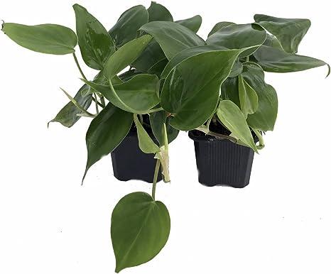 Filodendro De Hoja De Corazón 2 Plantas Planta Más Fácil De Cultivar Macetas De 3 Cm Amazon Es Jardín