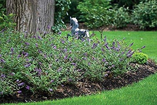Blue Heaven Flutterby Petite Dwarf Butterfly Bush - Live Plant - Quart Pot by New Life Nursery & Garden (Image #1)