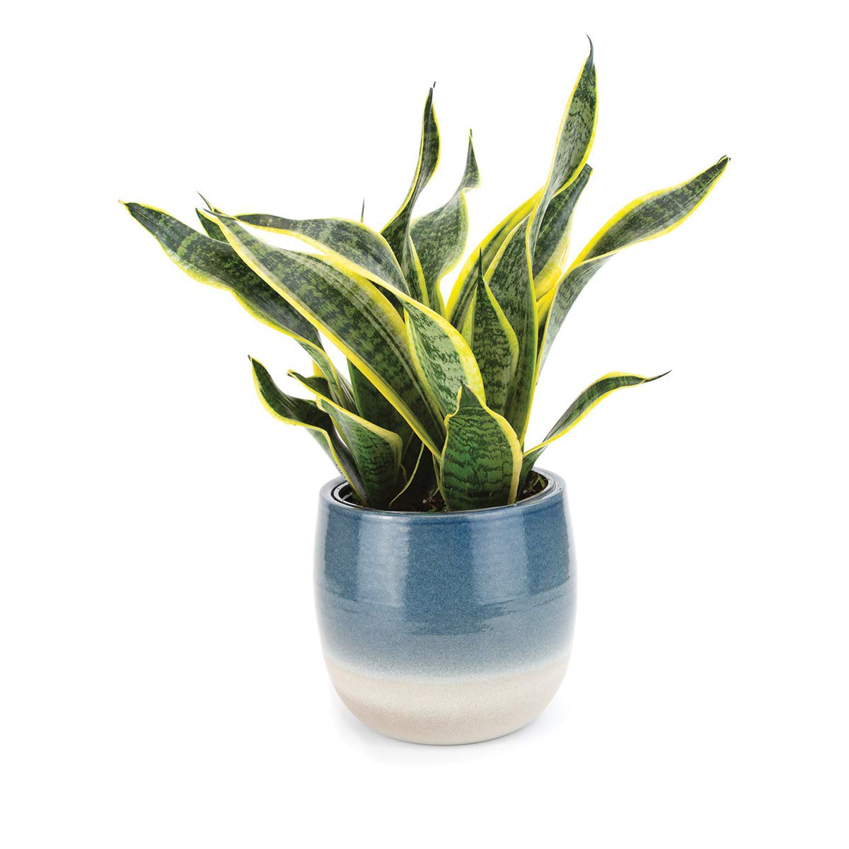 Burpee Golden Snake Plant with with 6'' Decorative Waterproof Ceramic Pot | Indirect Low - Light, Live Easy Care House