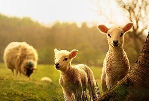 FHYGJD Sheep Lambs Wood Art Print Canvas Poster,Home Wall Decor(28x42 inch)