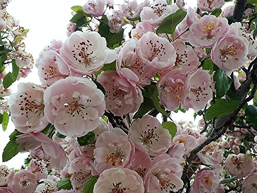 20 ENGLISH HAWTHORN TREE Edible Fruit Flower Mayflower Crataegus Laevigata Seeds -