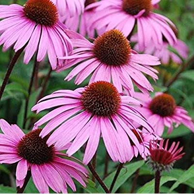 Echinacea Seeds (Echinacea purpurea) 100+ Purple Coneflower Medicinal Herb Seeds in FROZEN SEED CAPSULES for The Gardener & Rare Seeds Collector - Plant Seeds Now or Save Seeds for Years : Garden & Outdoor