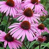 Echinacea Seeds (Echinacea purpurea) 100+ Purple Coneflower Medicinal Herb Seeds