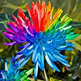 Rainbow Chrysanthemum Seeds - 20Pcs Rainbow Chrysanthemum Flower Seeds Rare Color Home Garden Bonsai Dyeing Plant