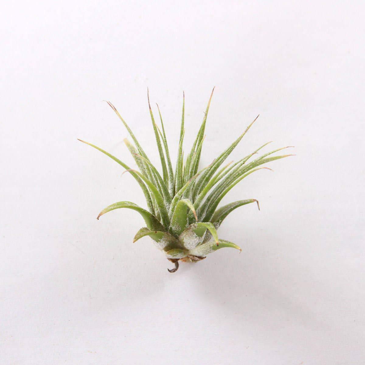 Bulk 100 Air Plants Variety Pack (50 Ionantha, 50 Fuchsii) - Wholesale by AchmadAnam (Image #2)