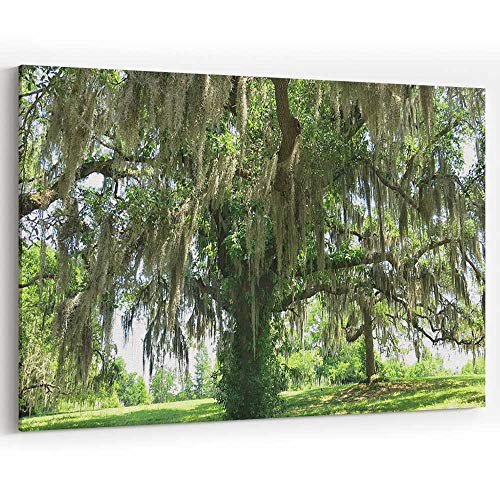 (Spanish Moss Hanging from Large Live Oak Tree Landscape Canvas Art Wall Dector for Home Decor)