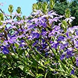 scaevola globulifera Fan Flower Seeds (n 280)