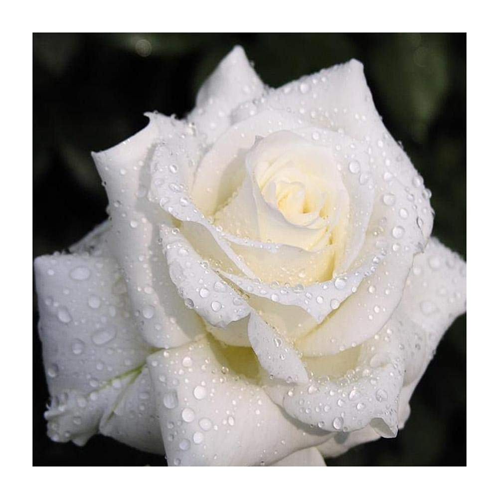 VKTECH White Rose 5D DIY Diamond Painting Kit Full Drill Mosaic Cross Stitch Round Rhinestones Dotz Embroidery Art Craft Home Wall Decor 15.75 X 15.75