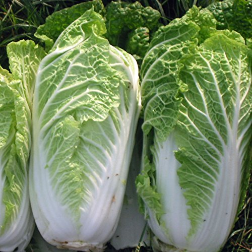 CHINESE CABBAGE - WONG BOK - 5 GRAM ~ APPROX 1616 FINEST SEEDS Premier Seeds Direct