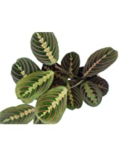 Prayer Plant. Maranta leuconeura Fascinator Tricolour houseplant